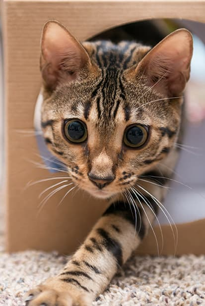 A cat crawling out of a box