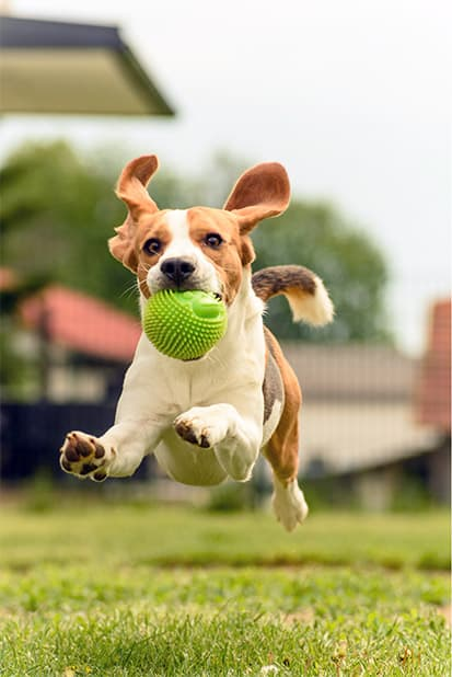Dog running with a ball in its mouth