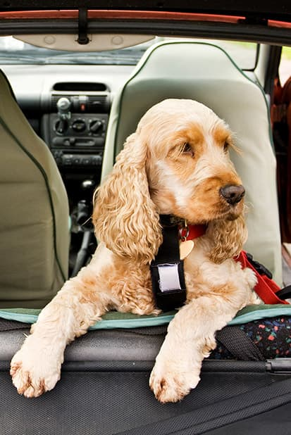 A dog riding in the backseat of a car