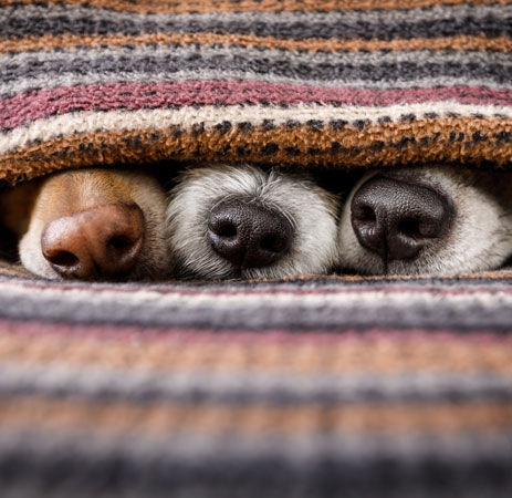 Three dogs noses under a blanket